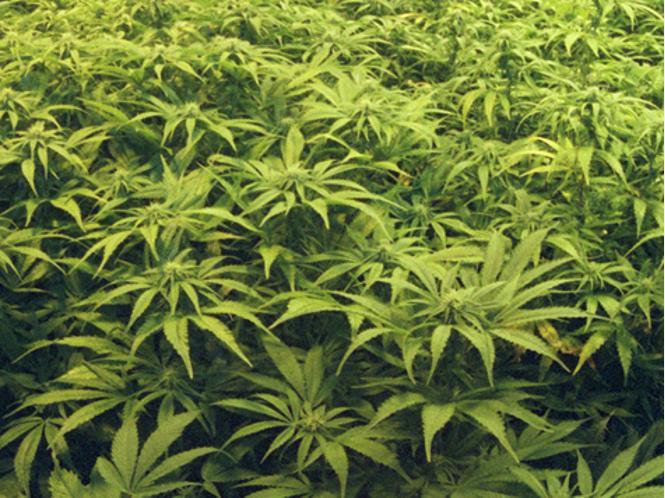 Was wird das f r eine pflanze sein siehe bild garten - Hanf zimmerpflanze ...