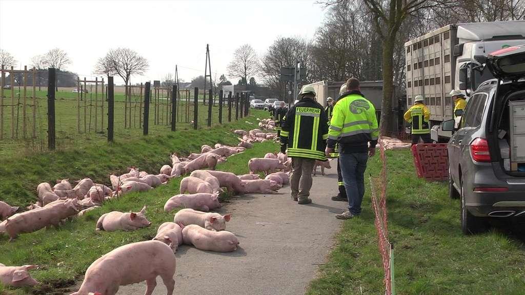 Hammer Vieh-Laster kippt in Kalkar um - 92 Schweine tot