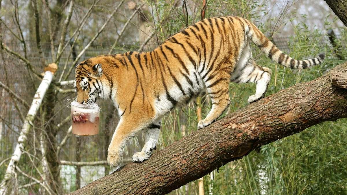 sibirische tiger aus zoo duisburg bekommen neues zuhause nordrhein westfalen. Black Bedroom Furniture Sets. Home Design Ideas