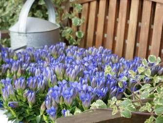 Enzian Im Garten Nicht Zu Viel Gießen