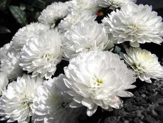 Was Chrysanthemen Zur Blüte Brauchen