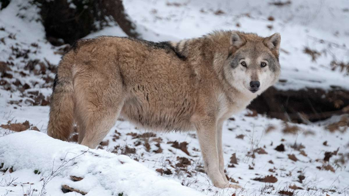 Wölfe Nordrhein