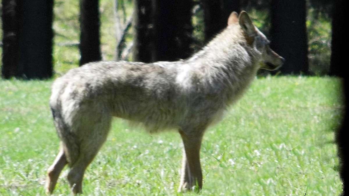 Landesamt bestätigt: Wolf im Märkischen Kreis!