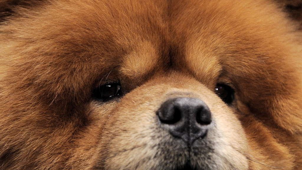 136th Westminster Kennel Club Dog Show: Chow Chow bei Hundeshow